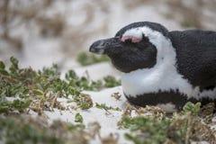 Tomando sol o pinguim africano fotos de stock