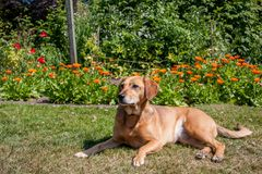 Tomando una rotura, un perro viejo que pone en la sol que tiene un resto en un día soleado foto de archivo