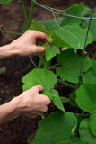 Tomar el cuidado de la planta de la calabaza Imagen de archivo