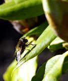 Tomar el sol Dronefly Foto de archivo libre de regalías