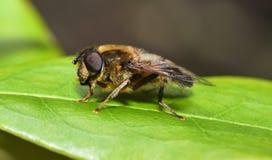 Tomar el sol Dronfly Fotografía de archivo