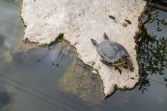 Tomar el sol la tortuga Imágenes de archivo libres de regalías