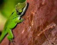 Tomar el sol el lagarto Foto de archivo