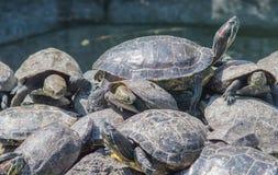 Tomar el sol tortugas Imagen de archivo libre de regalías