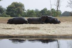 Tomar sol dos hipopótamos Imagens de Stock Royalty Free
