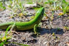 Tomar sol europeu dos viridis do Lacerta do lagarto verde fotografia de stock