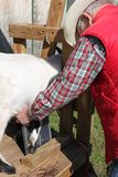 Tomar una radiografía de la pierna de las cabras fotos de archivo