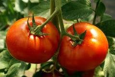 tomat 2 Royaltyfri Fotografi