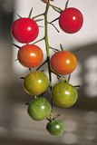 tomat för als-ampeltomatenstrauch Arkivfoto