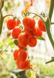 tomat för Cherryred Arkivbilder