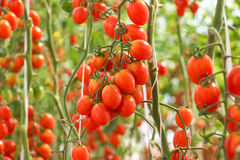 tomat för Cherryred Arkivbild
