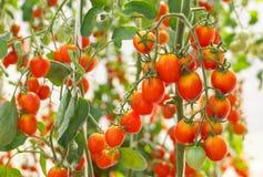 tomat för Cherryred Royaltyfri Bild