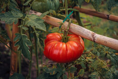 Tomat för grönsakträdgård Fotografering för Bildbyråer