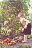 Tomat för pojkeplockninggräsplan Arkivbild