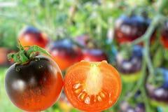 Tomat för svart för tomatindigoblåttros i unfocusbakgrund royaltyfria bilder