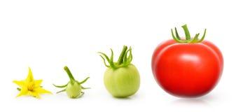 Tomat från den isolerade blomman royaltyfria bilder