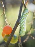Tomat Hornworm Royaltyfri Fotografi