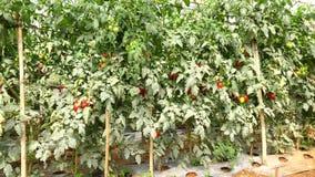 Tomat i plantskolan, Da-Latstad, Lam Dong landskap, Vietnam stock video