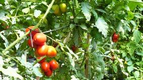 Tomat i plantskolan, Da-Latstad, Lam Dong landskap, Vietnam arkivfilmer