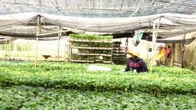 Tomat i plantskolan, Da-Latstad, Lam Dong landskap, Vietnam lager videofilmer