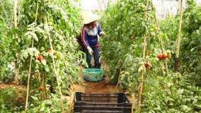Tomat i plantskolan, Don Duong område, Lam Dong landskap, Vietnam arkivfilmer