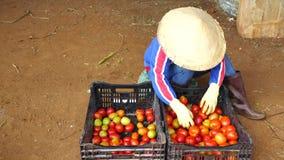 Tomat i plantskolan, Don Duong område, Lam Dong landskap, Vietnam stock video