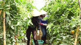 Tomat i plantskolan, Lam Dong landskap, Vietnam lager videofilmer