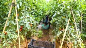 Tomat i plantskolan, Lam Dong landskap, Vietnam stock video