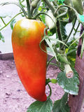 Tomat på en filial på en sommardag Tomat formad peppar Royaltyfri Foto