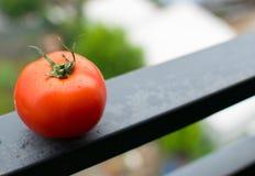 Tomat på en metallstråle Arkivfoto