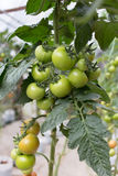 Tomat på växten Arkivfoto