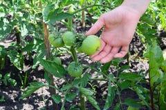 Tomat som besprutas med kopparsulfatet Förhindrande av phytophthoraen Tomatodling Växande ung tomat i kvinnahand i garden Fotografering för Bildbyråer