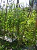 Tomat som kärnar ur i trädgårds- säng i sommar Fotografering för Bildbyråer