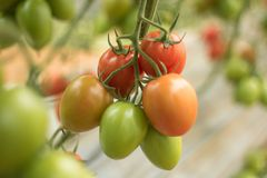 Tomat som växer från jordningen i växthus 3 royaltyfria bilder