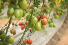 Tomat som växer från jordningen i växthus 2 royaltyfri foto