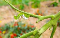 Tomat/tobak Hornworm som värden till parasitiska braconidgetingägg Arkivfoto
