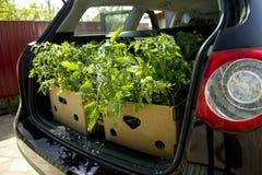 Tomataskar i en bilstam Fotografering för Bildbyråer