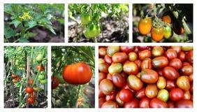 Tomatcollage Arkivfoton