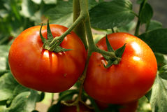 Tomate 2 Photographie stock libre de droits