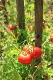 tomate Στοκ Εικόνες