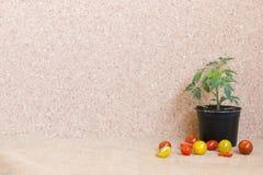 Tomate: als pland und nach als s-Frucht Stockbild