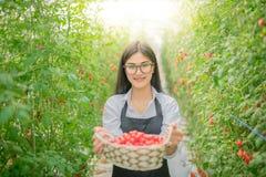 Tomate asiatique de récolte de femme dans le jardin photographie stock