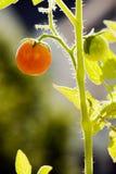 Tomate au soleil Images libres de droits