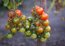 Tomate auf dem Busch Lizenzfreies Stockbild