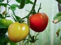 Tomate auf Gartenbett Lizenzfreies Stockfoto