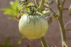 Tomate avec des baisses de l'eau après arrosage Photos stock