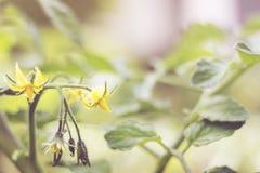 Tomate-Blumen und Blatt Lizenzfreies Stockbild