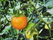 Tomate cherry. Biologique. This image is photography and illustration digital Stock Image