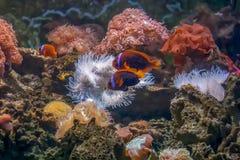 Tomate clownfish nahe Blasentippanemone stockfoto