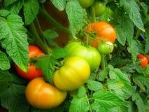 Tomate da colheita Imagens de Stock Royalty Free